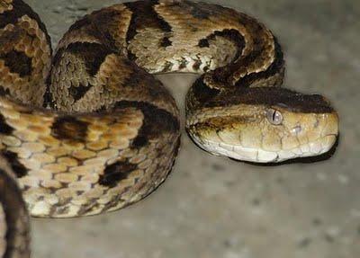 Cada año, sesenta uruguayos son mordidos por una serpiente